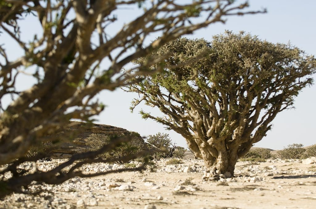Geology frankincense trees in Dhofar