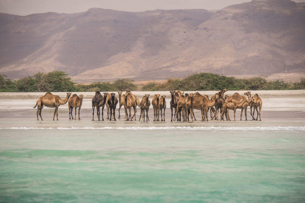 حياة الجمال البرية على الشاطئ بصلالة - ظفار - عمان