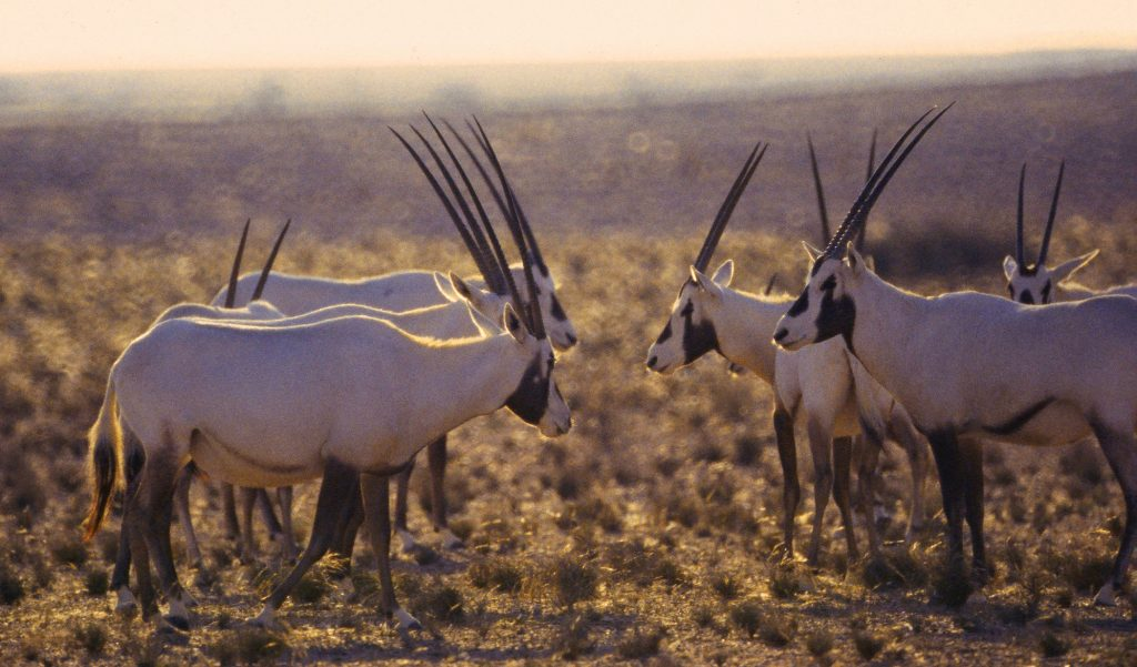 Wildlife Herd of Araban Oryx in Al Saleel National Park Ash Sharqiyah Oman